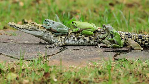 Three of the frogs clamber onto the croc.