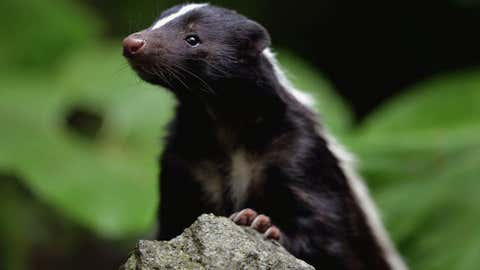 skunks-garbage