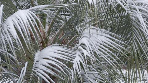 In eastern South Carolina around 25 miles north of Florence, the town of Society Hill recorded 18 inches of snow on Feb. 25, 1914. Image: Snow-covered palmetto leaves in Florence on Jan. 20, 2009. Credit: iWitness Weather robdob77