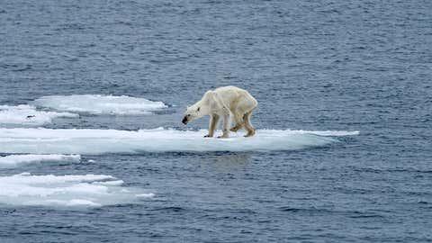 Dieses herzzerreißende Bild steht für die Folgen des Klimawandels: Die Fotografin Kerstin Langenberger hat am 26. Juli 2015 einen völlig abgemagerten Eisbären auf Treibeis nahe Spitzbergen fotografiert. Das ist kein Einzelfall, sagen Experten.