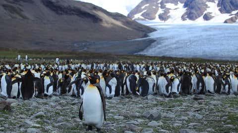 Pinguine auf der Insel von Südgeorgien