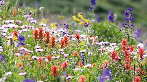A field of wildflowers in a sub-alpine meadow in Colorado. (Courtesy: Benjamin Blonder)