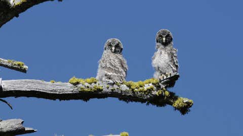 yosemite-owls