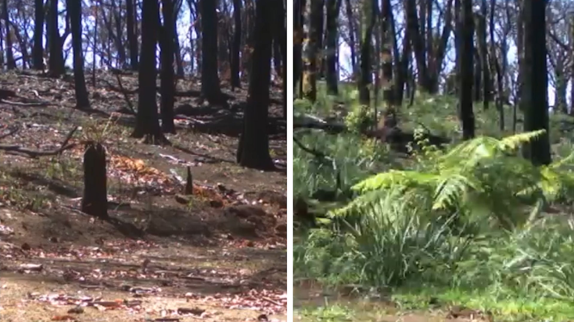 Patches of Green Grass Sprouting Back in Wildfire Devastated Australia