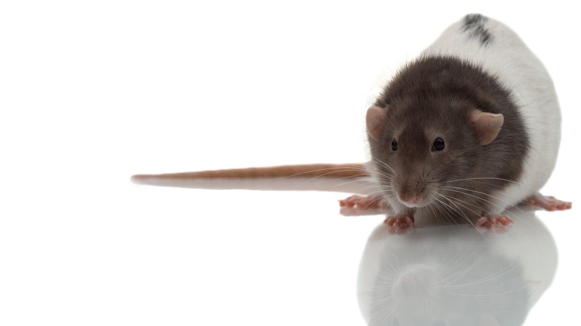 Petco Rats 'Rat Bite F...