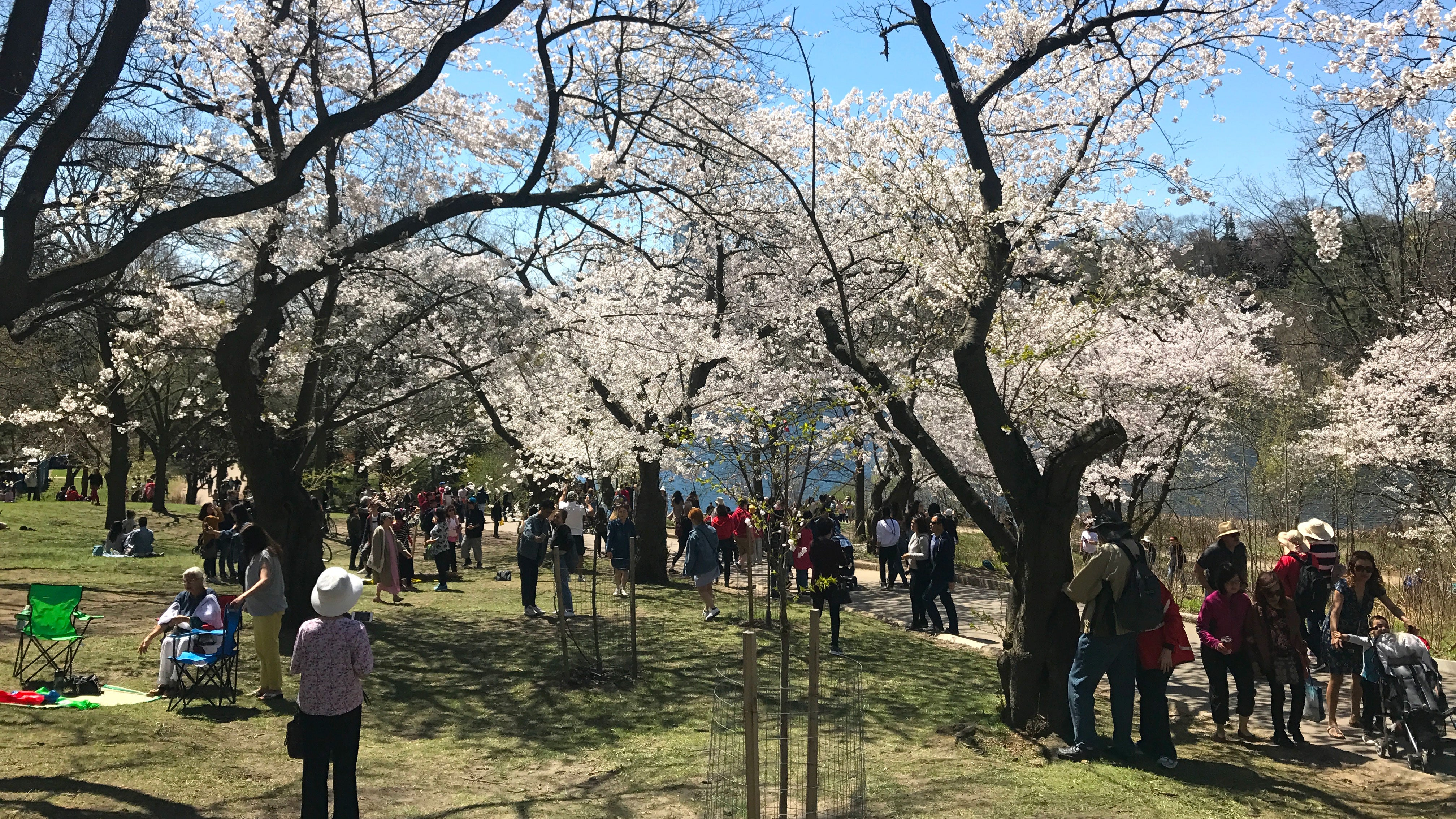 Toronto's Cherry Blossoms Are in Full Bloom