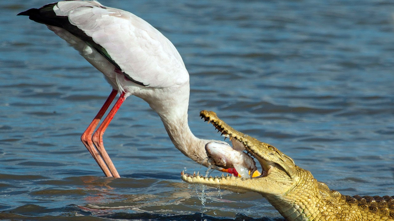 Amazing Photos Of Stork Nearly Being Eaten By Crocodile
