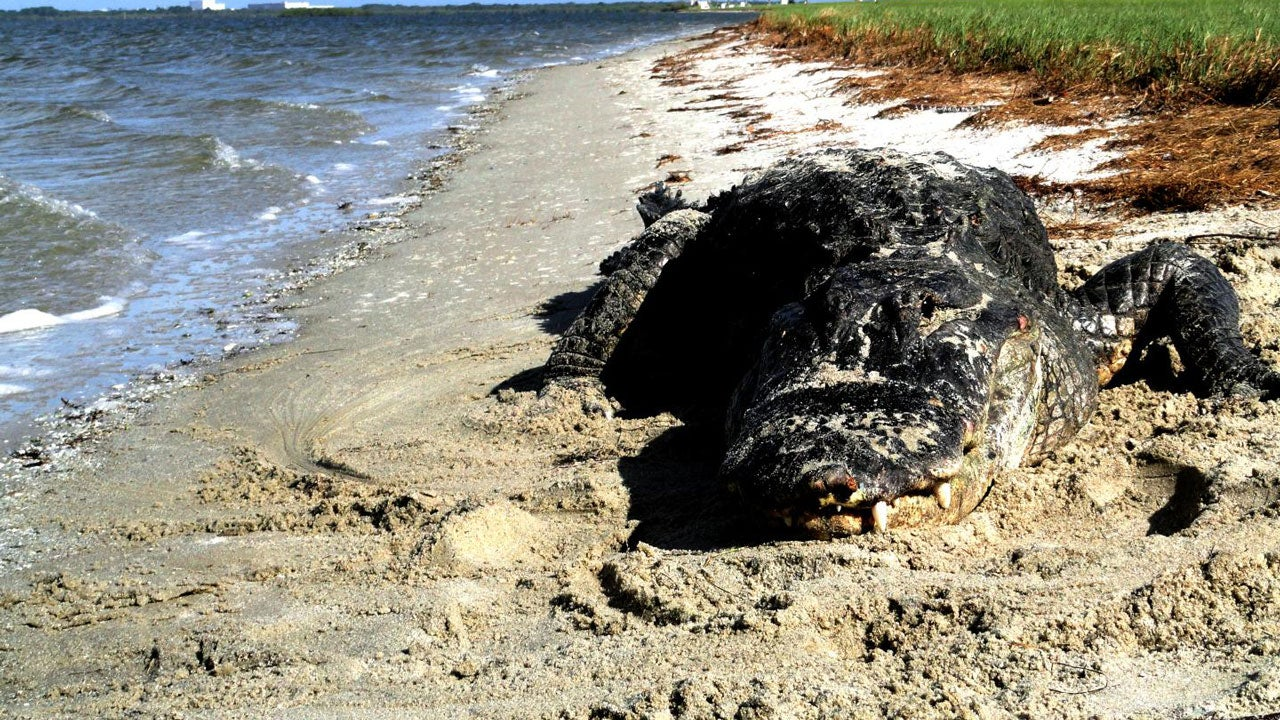 You Should Get Used to Seeing Gators on Beaches and Killer Whales in Rivers, Scientists Say