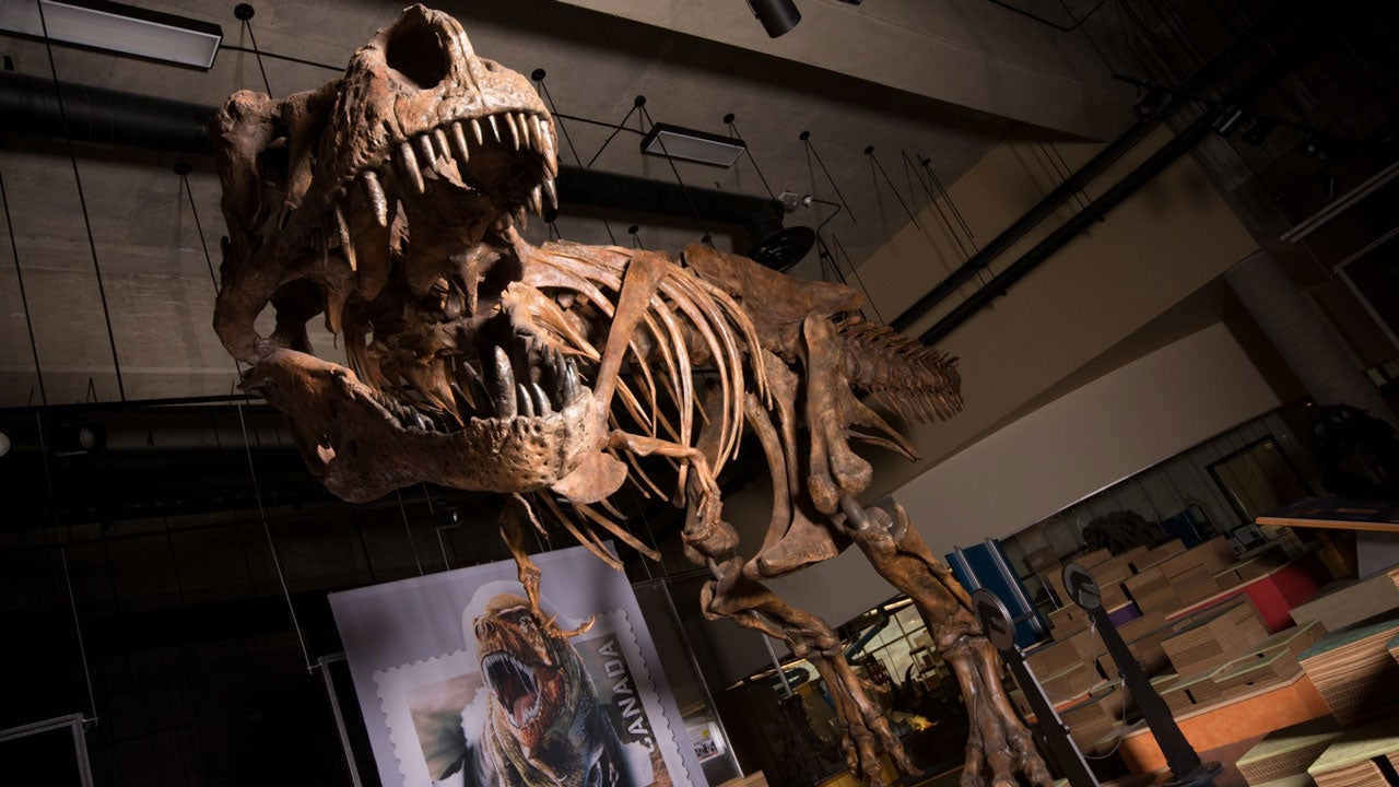 Largest Tyrannosaurus Rex Ever Found Confirmed by Canadian Scientists