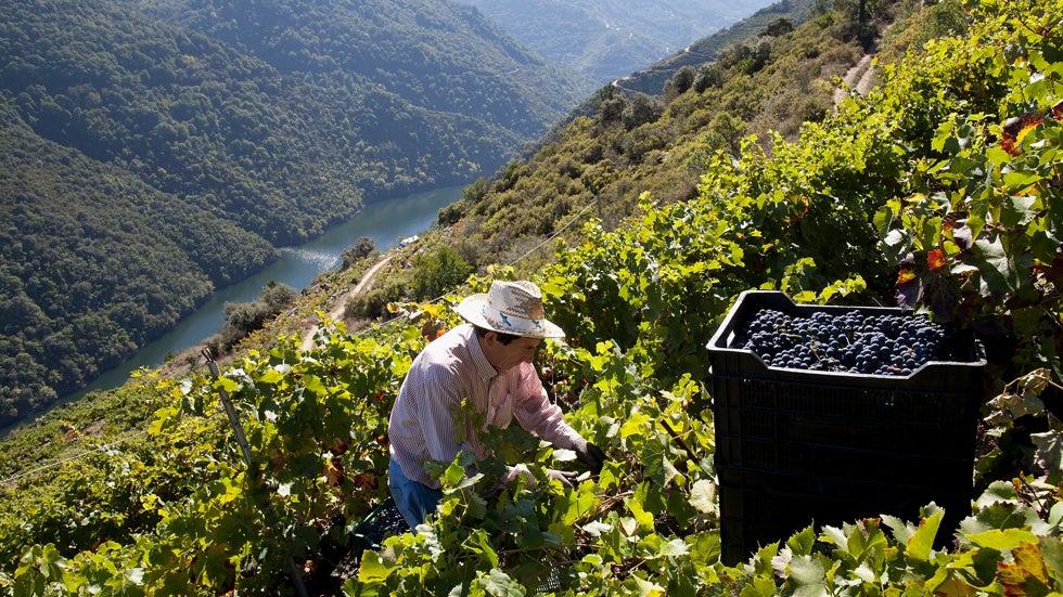 Dizzying Grape Harvest on Spain's Ancient Terraces (PHOTOS)