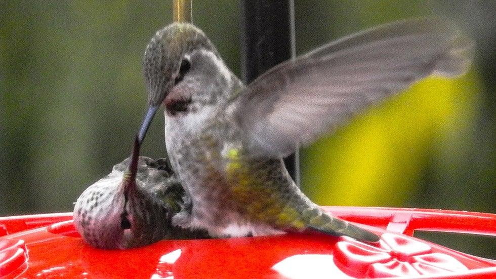 Moški kolibri poskuša rešiti samico, ujeto v podajalnik Vremenski kanal-4124