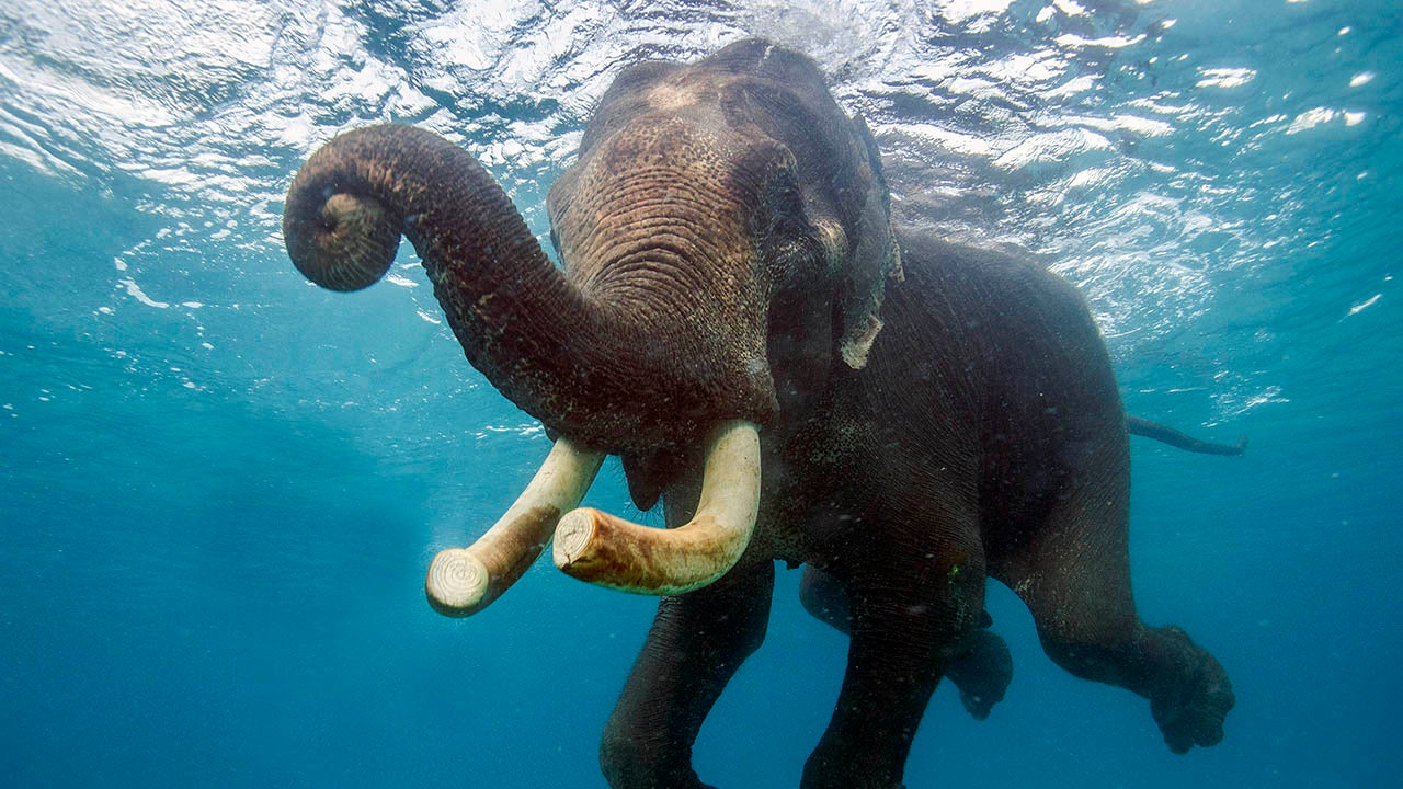 Rajan The Elephant Cools Off In The Sea Photos The