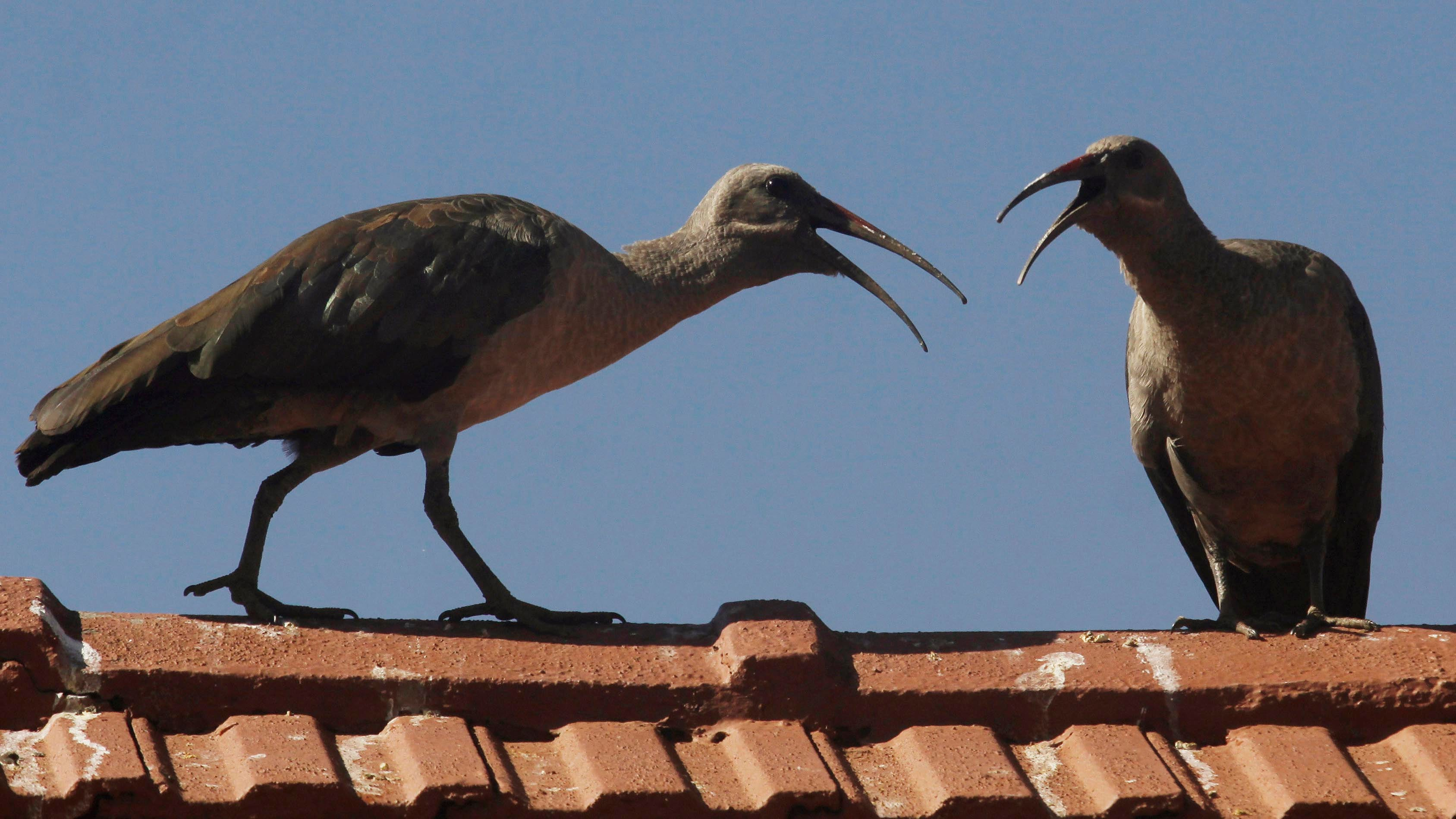 This odd bird the hadeda ibis is taking over south africa the this odd bird the hadeda ibis is taking over south africa the weather channel buycottarizona Choice Image