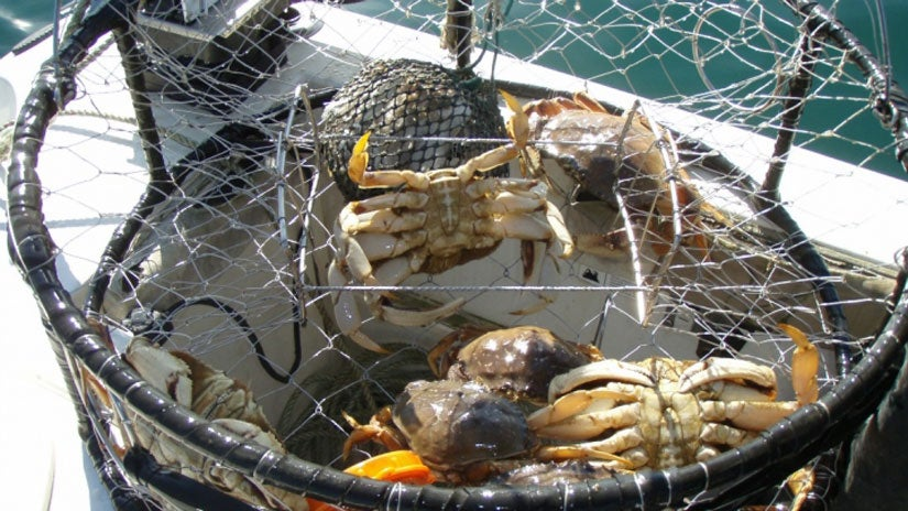 Whole Populations of Dungeness Crabs at Risk Due to Ocean Acidification