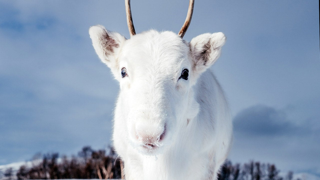 Rare White Reindeer Appears in Norway (PHOTOS)