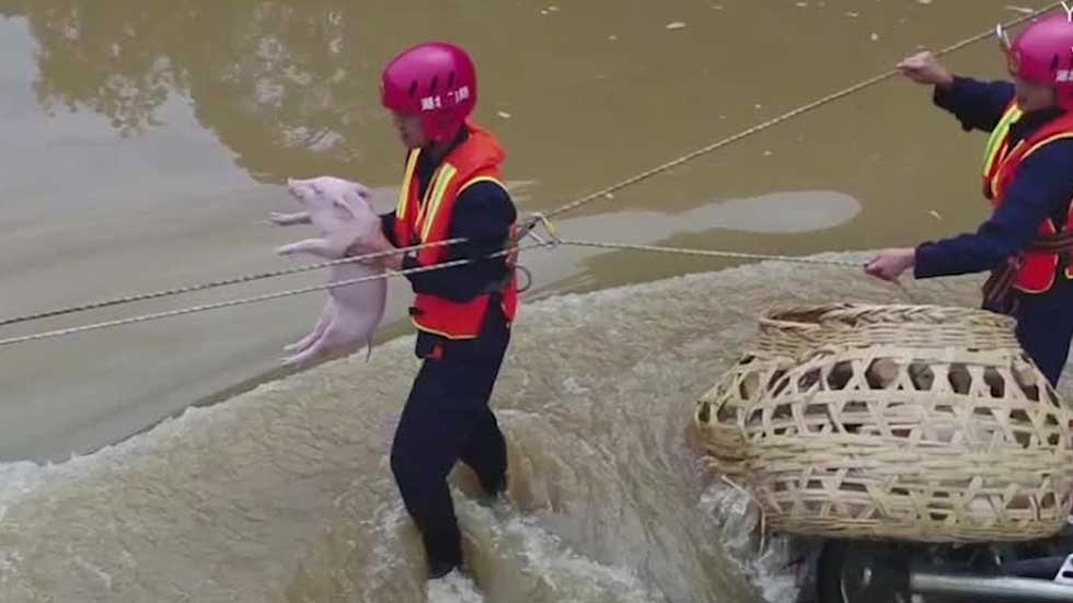 Watch: Piglets Rescued from Flooded River