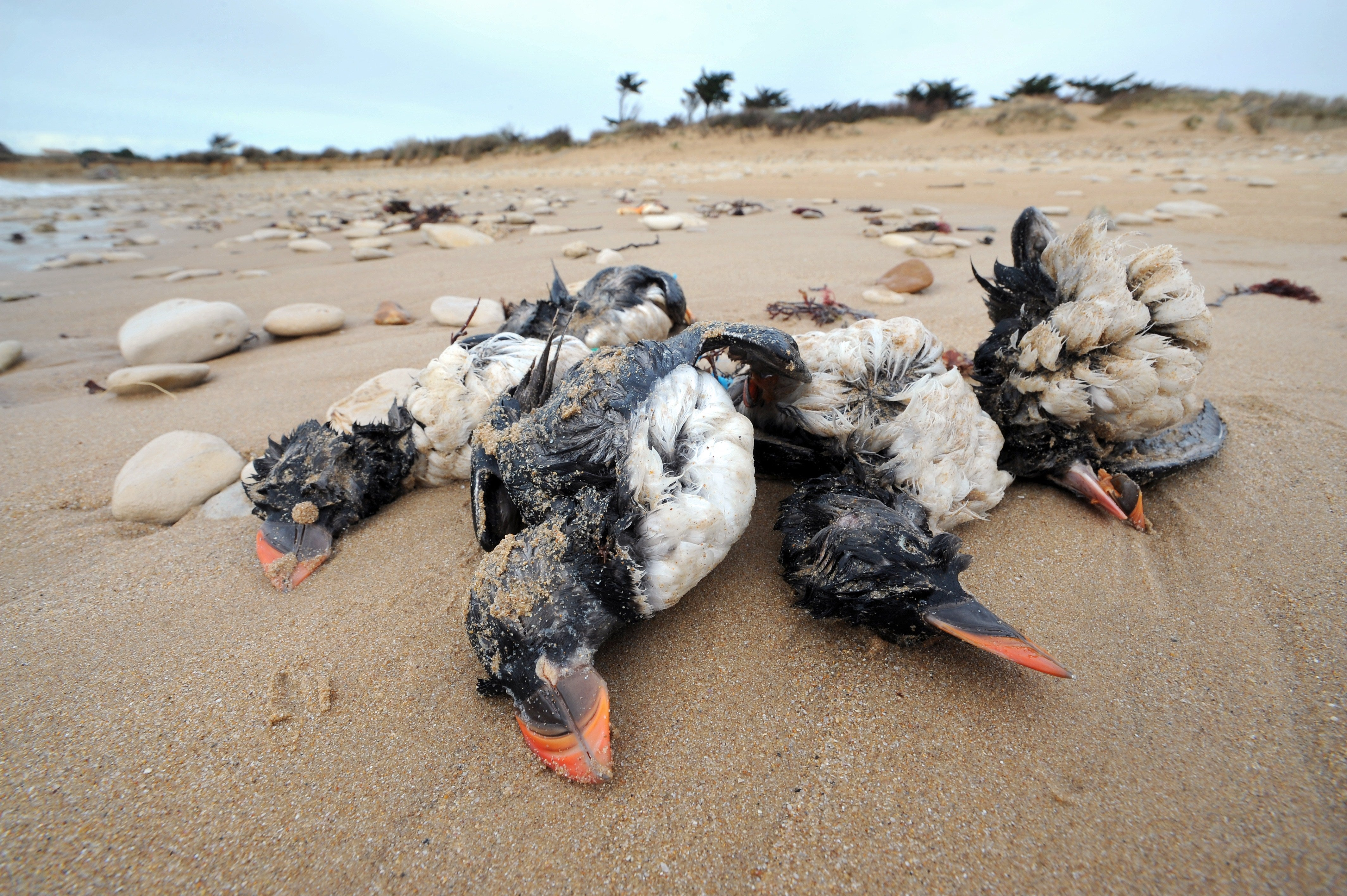 21 000 birds killed in france by winter storms the for Oiseaux de france