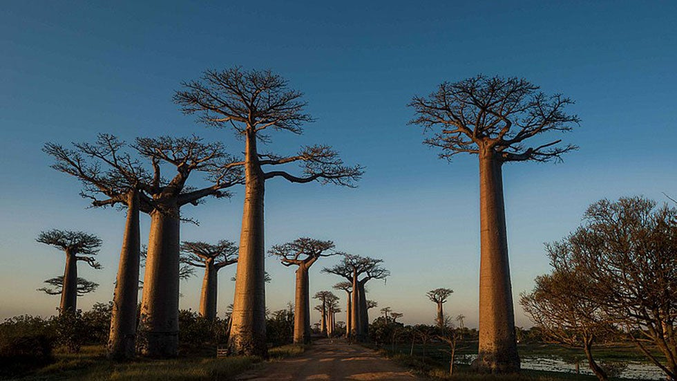 Africa's Massive 'Trees of Life' Likely Being Killed Off by Climate Change, Study Says