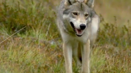famed wolf pack likely wiped out