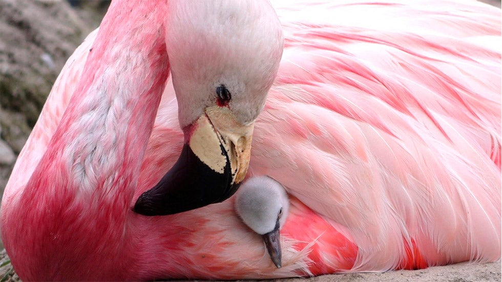 Flamingos lay eggs for first time in 15 years in heatwave