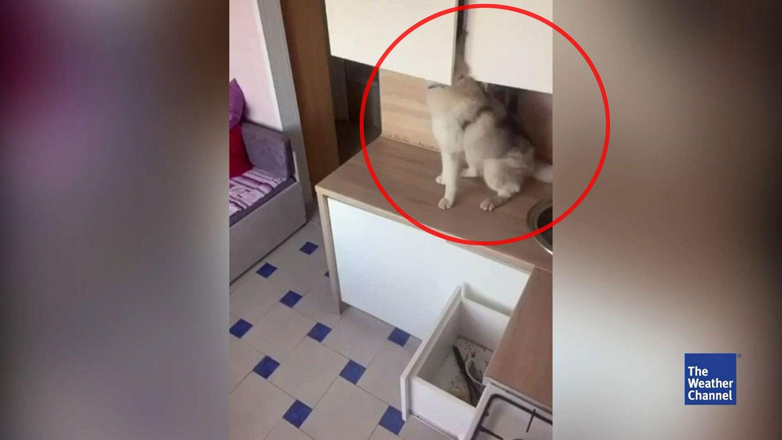 Erwischt! Husky Lilu zeigt ein verborgenes Talent fürs Chaos stiften