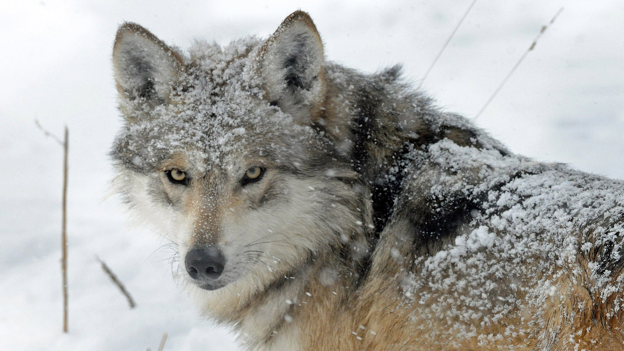 animals snow winter loving play weather animal wild creature channel playing nature kingdom happens wolf