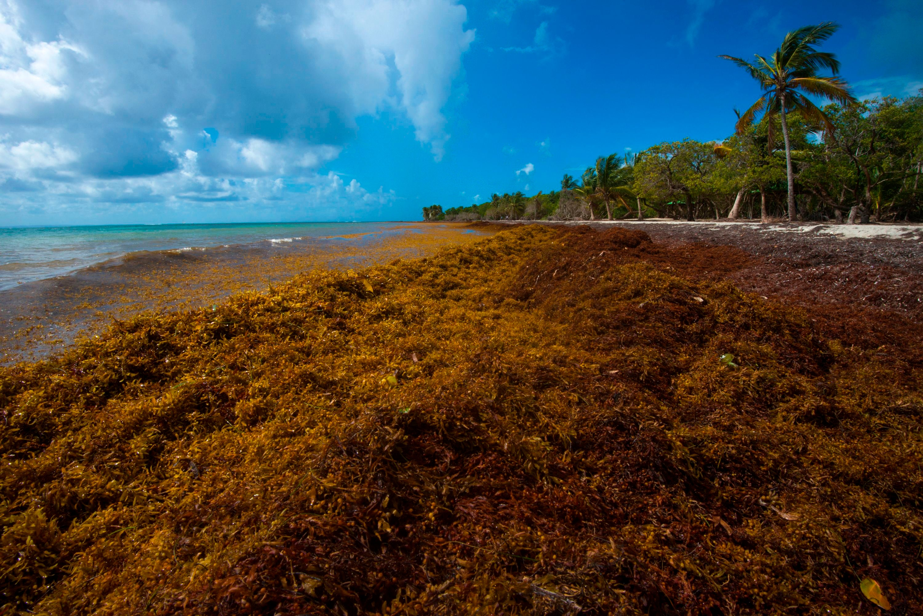 Huge Sargassum Seaweed Blooms Again Threaten Florida