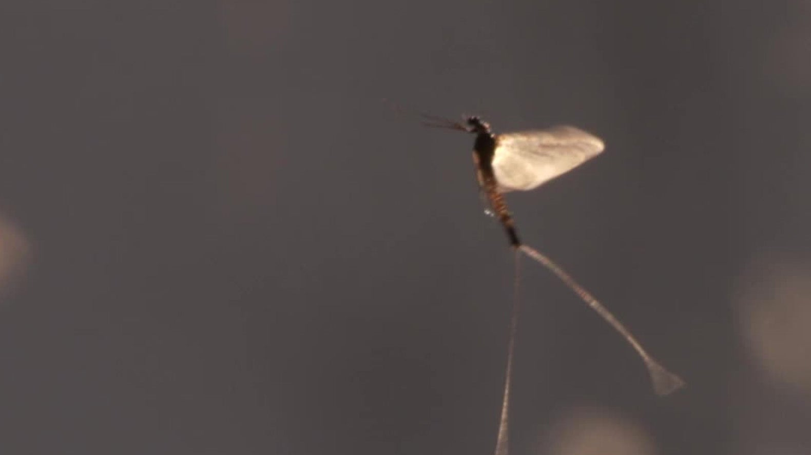 Large Decline in Mayflies Population in the U.S. a Warning Sign