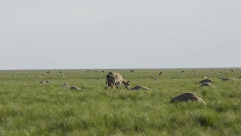 Why Did More Than 130,000 Saiga Antelopes Die Off in Two Weeks in Central Asia?