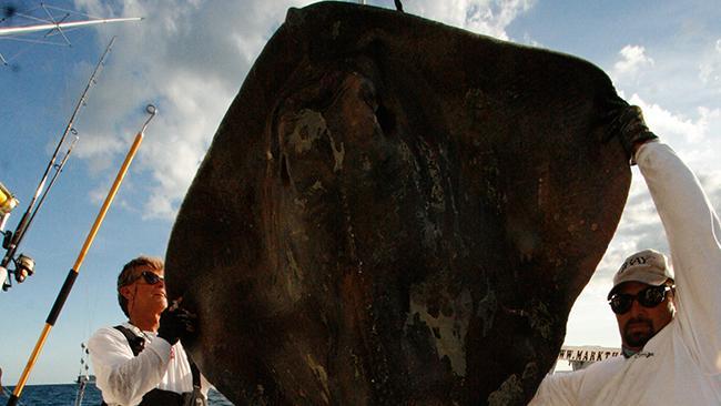 Huge Stingray Caught Off the Coast of Miami: Mark Quartiano Snags 800-Pound Surprise