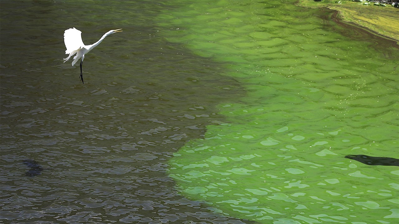 Florida S Blue Green Algae Bloom 10 Times Too Toxic To Touch