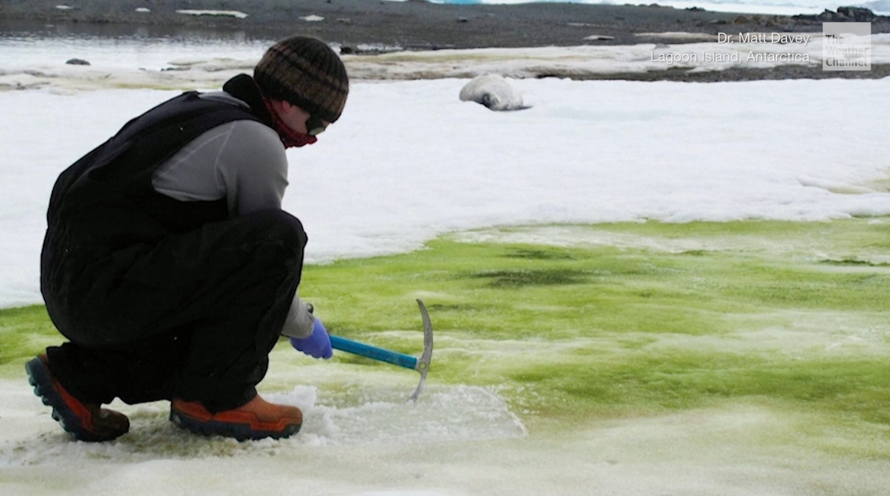 Green Algae blooms are popping up more often on Antarctica's white snow because of warming temperatures.