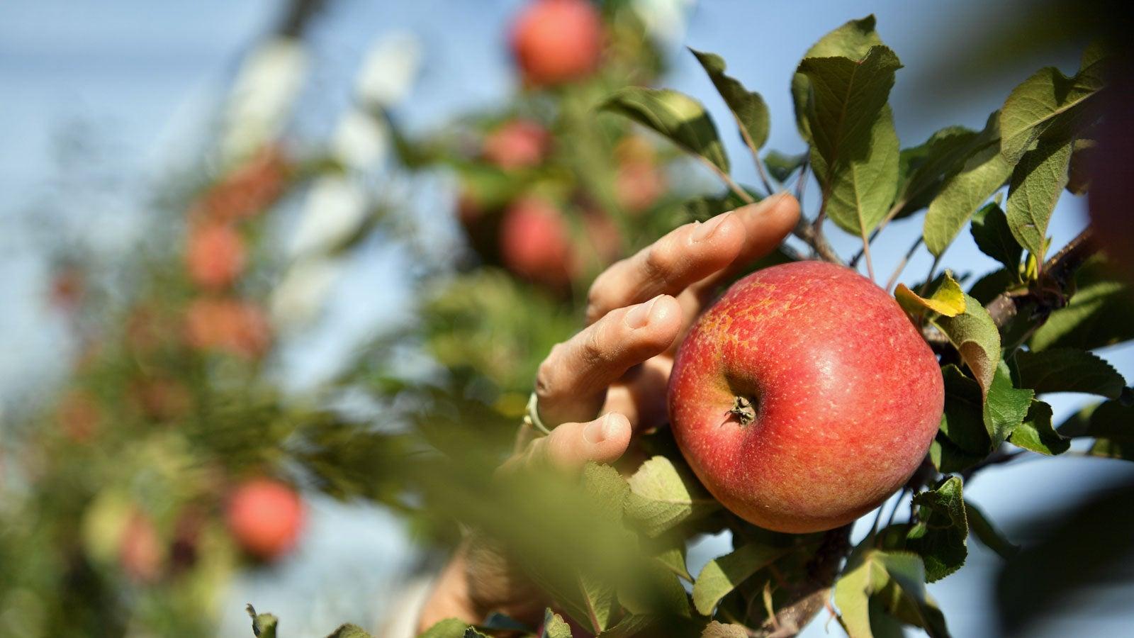Trotz Apfelallergie: Bei diesen Sorten dürfen Sie herzhaft zubeißen