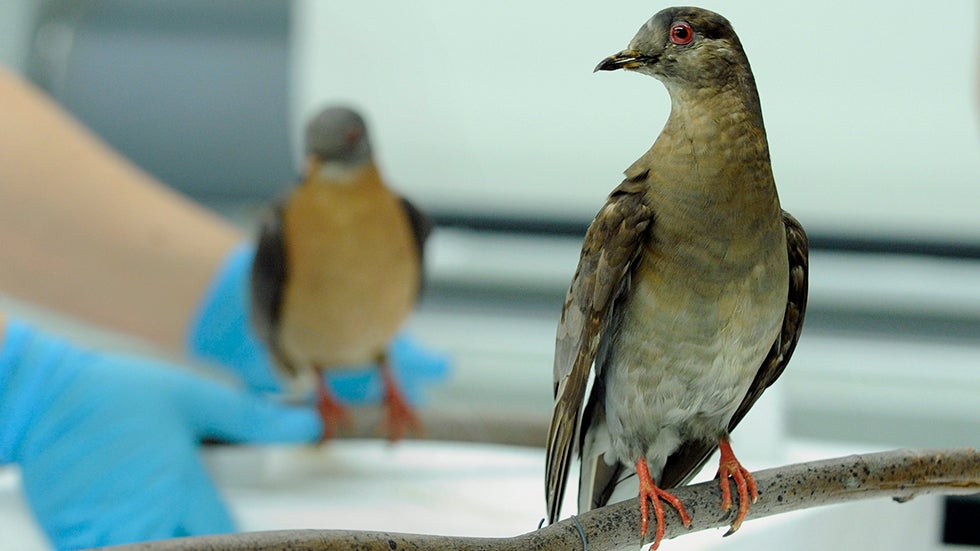 human impact on passenger pigeons