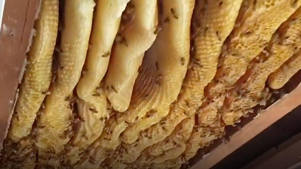 Massive Beehive Found Inside House in Australia