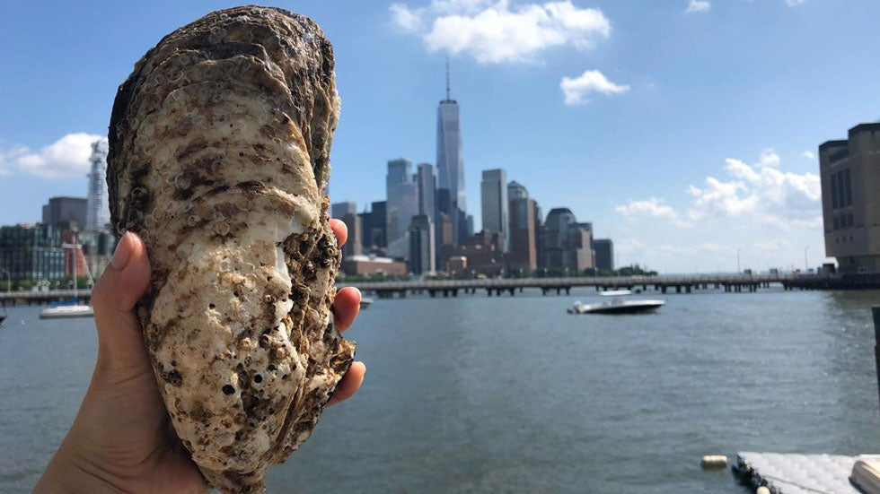 Whopper Oyster Found in New York Harbor