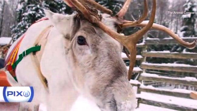 Runaway Reindeer Causes Christmas Calamity in London