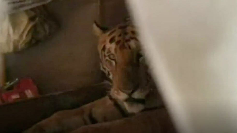 India Monsoon Floods Force Fatigued Tiger Into Resident's Bed