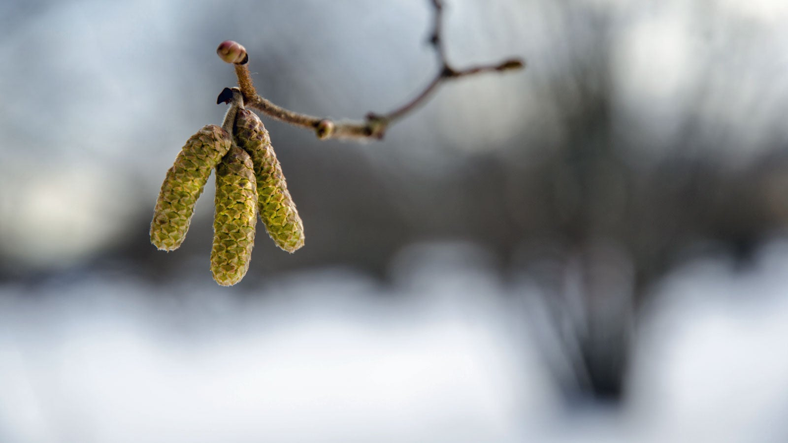 Hasel und Erle: Die ersten Pollen sind bereits unterwegs