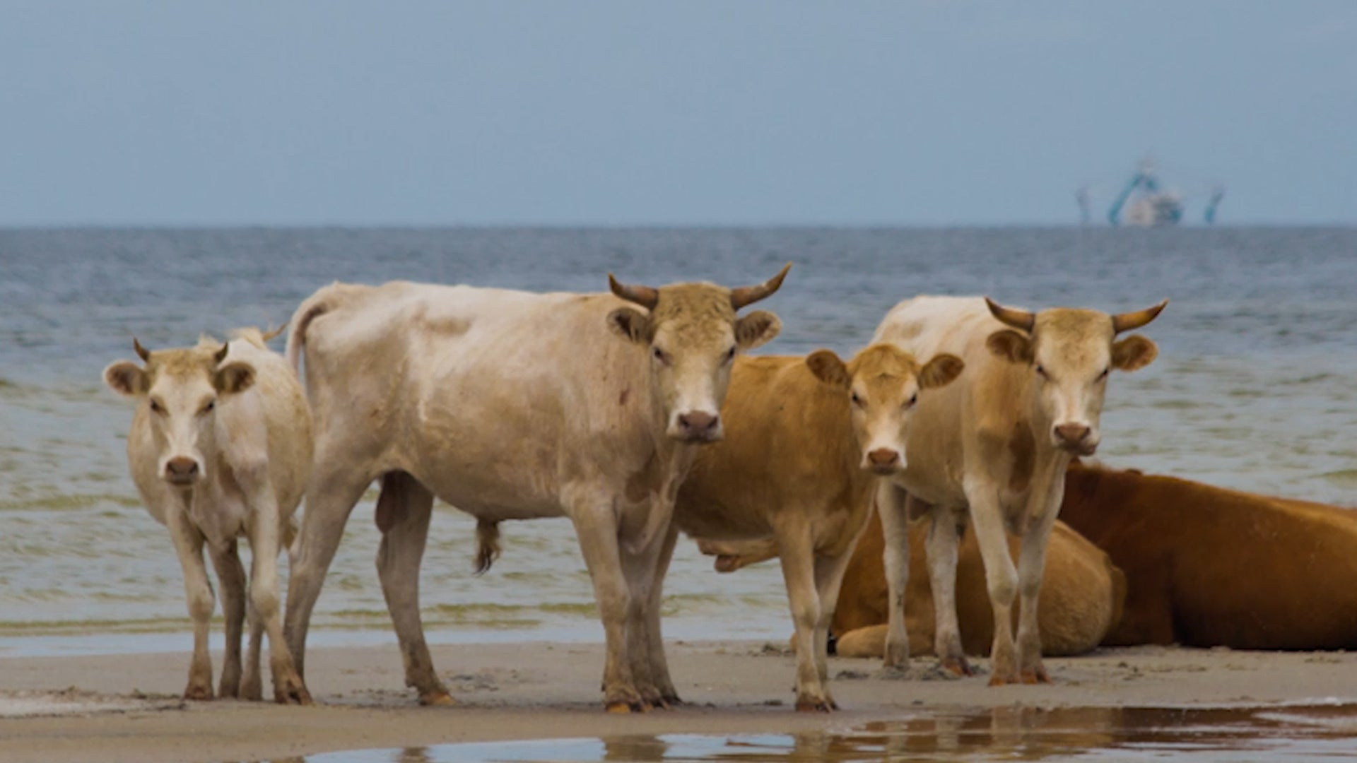 Cows swept out to sea during a sort of mini tsunami in Hurricane Dorian are found alive in North Carolina's Outer Banks.
