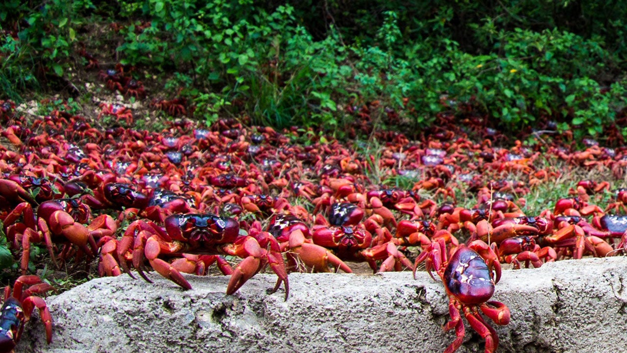 Christmas Island Crabs Migrate By the Millions
