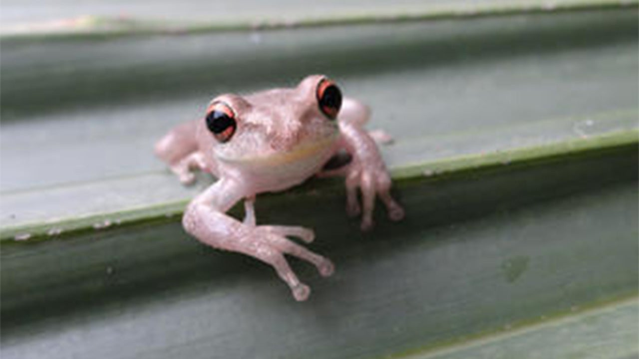 Cannibalistic Cuban Tree Frog Invades Another State; Entire Gulf Coast Could Be Next