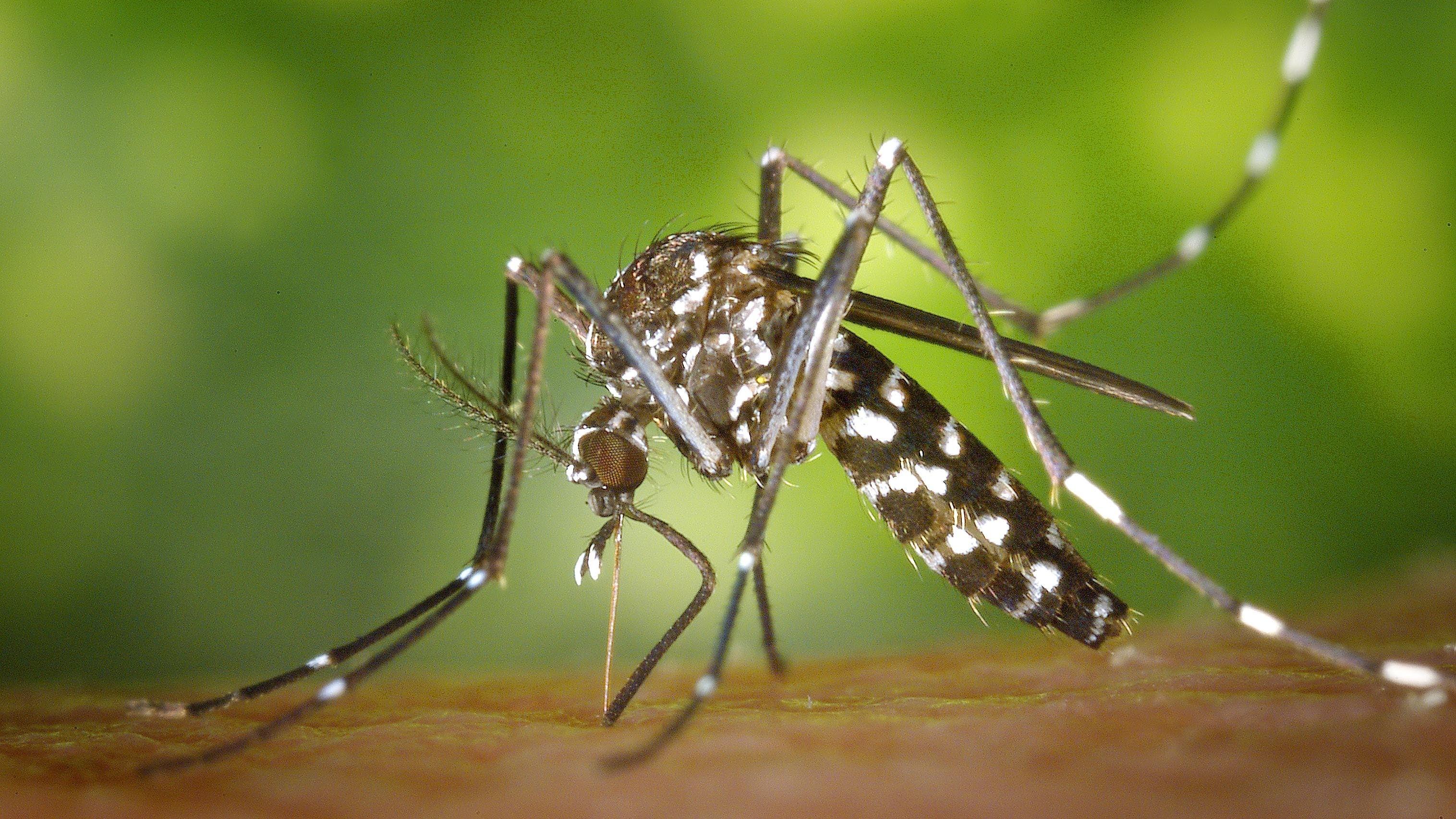 Nächste Gefahr im Anmarsch: die Asiatische Tigermücke