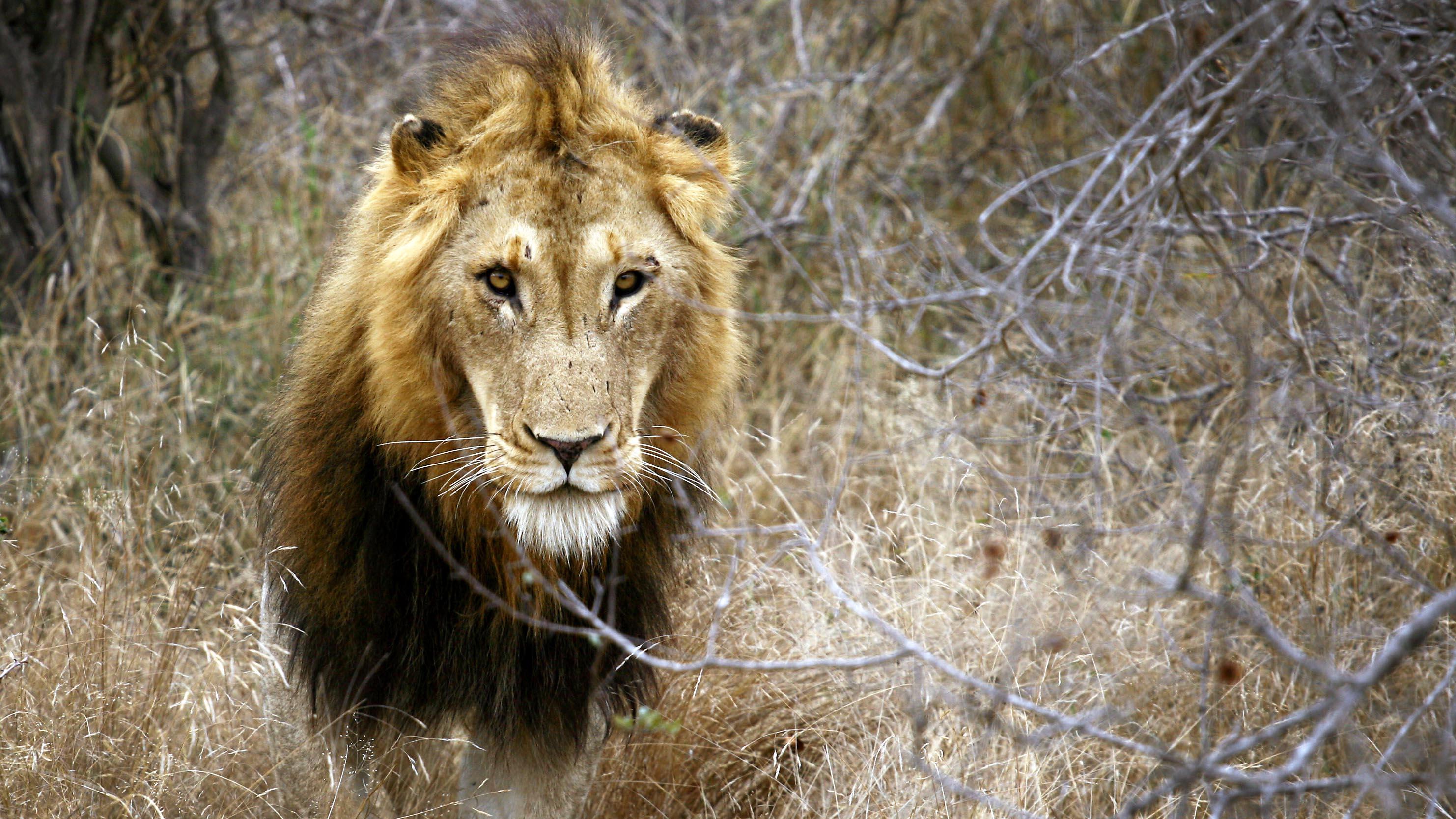 Löwen in australischem Zoo greifen Tierpflegerin an