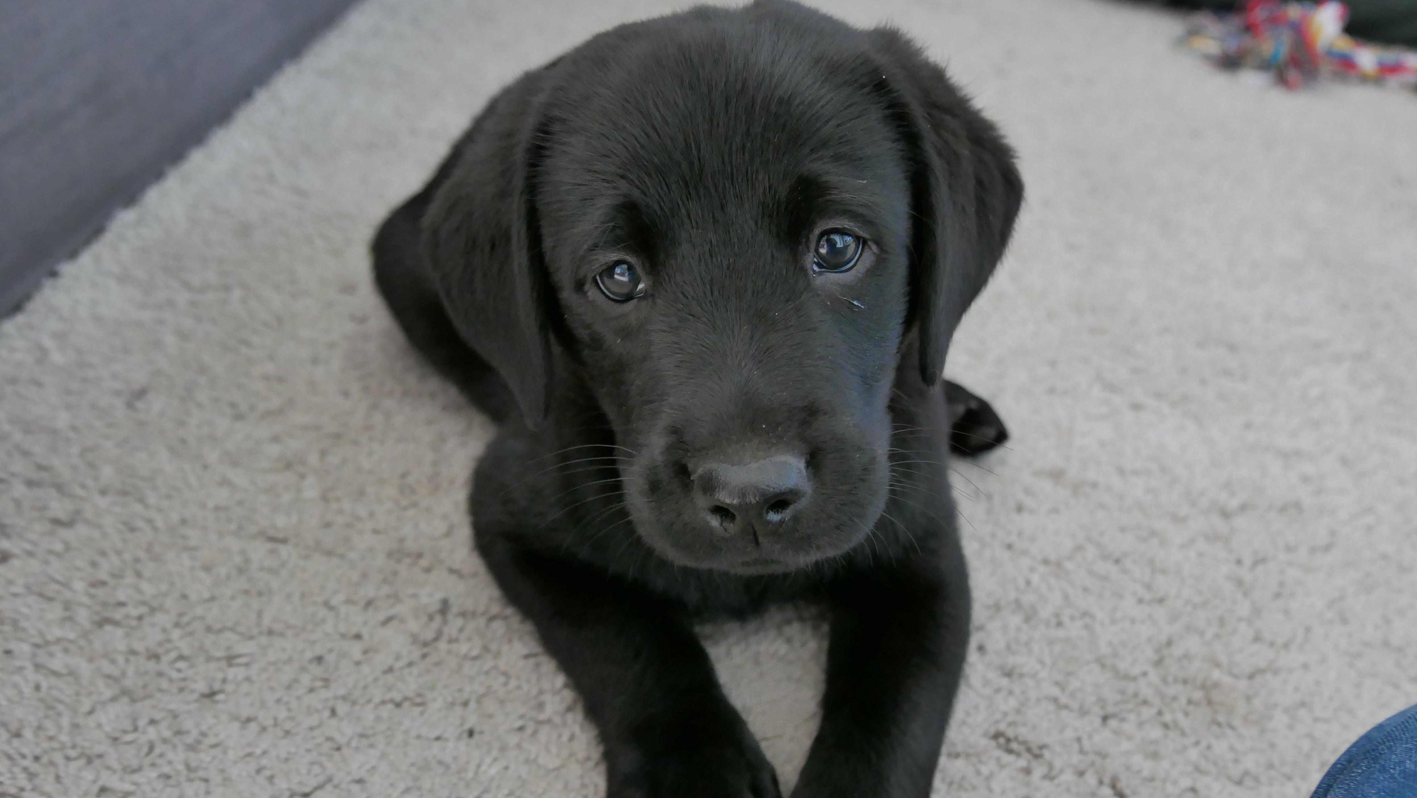Homeoffice macht Anschaffung möglich: Hundezüchter melden Welpen-Boom