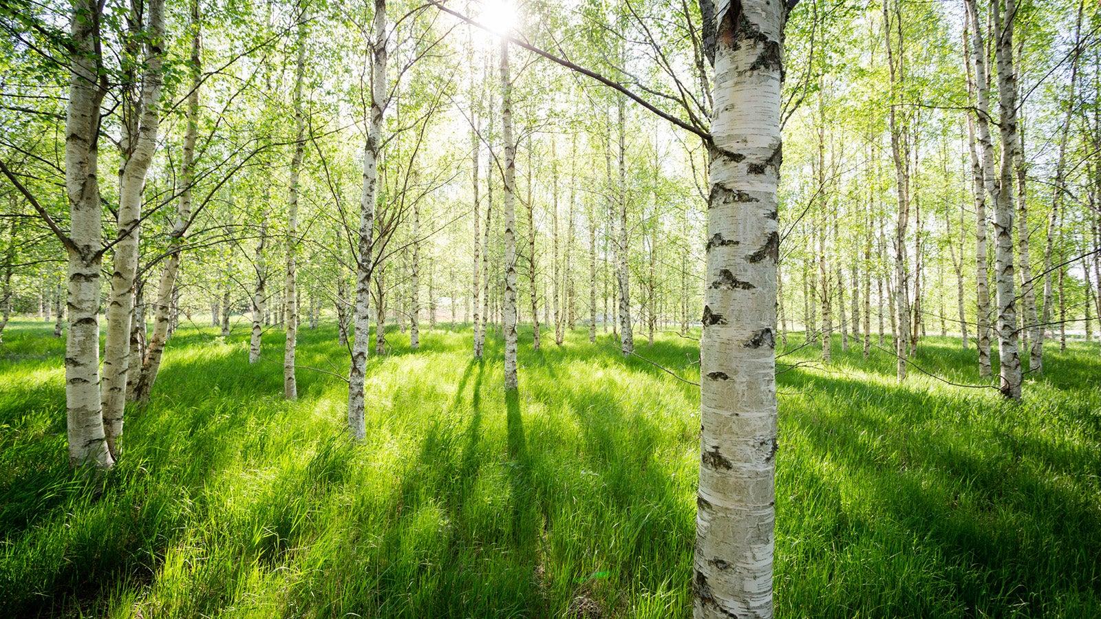 Die Pollen der Birke: Allergie-Risiko mit vielen Symptomen