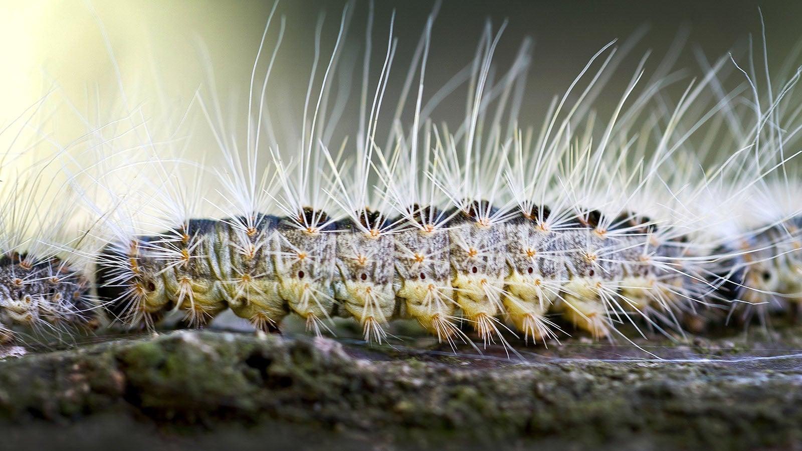 Achtung Giftschleuder! Diese Raupen sind jetzt gefährlich für Menschen