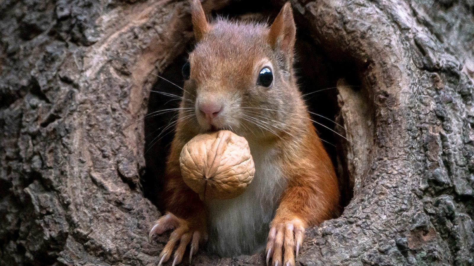 Winterruhe Eichhörnchen