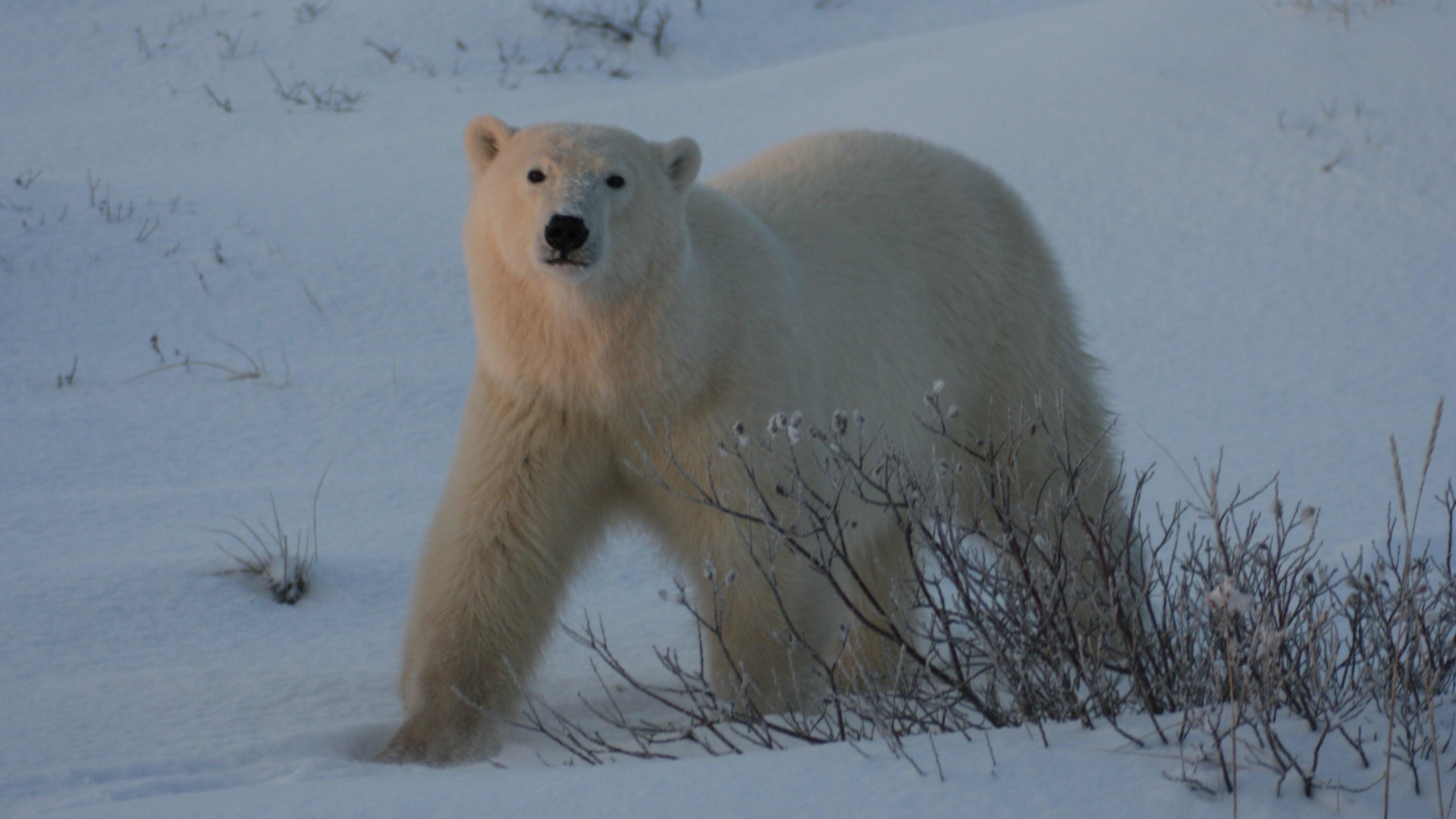 Bei Ausflug von Kreuzfahrttouristen: Eisbär attackiert Mann auf Spitzbergen