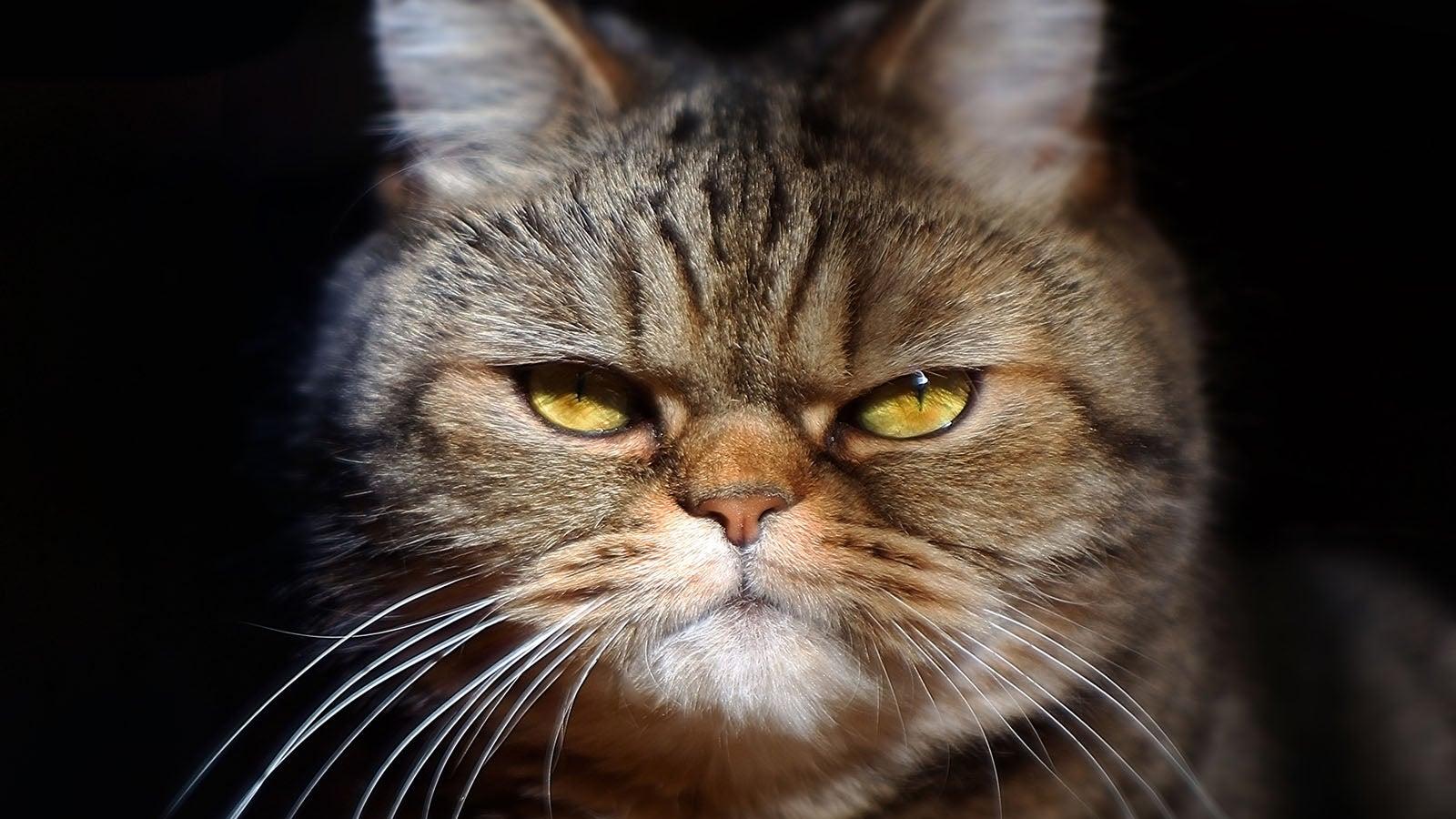 Neue Forschungsergebnisse: Darum sind Katzen als Haustiere unberechenbar   The Weather Channel